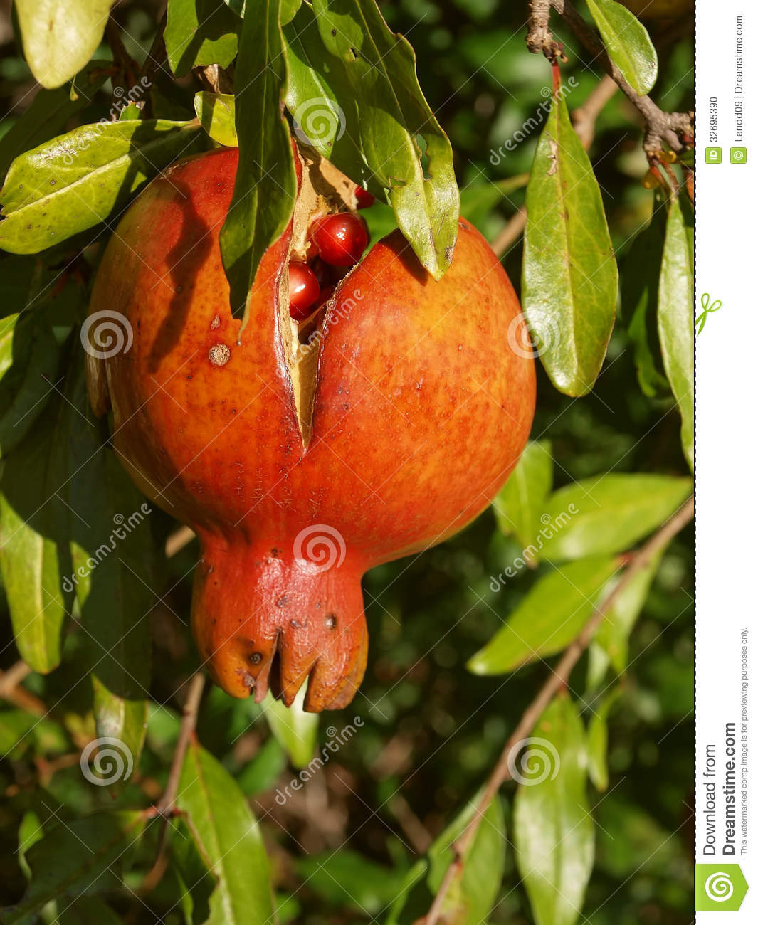 Ripe pomegranate 1 stock photo image 32695390 - Mediterranean garden plants colors and scents ...