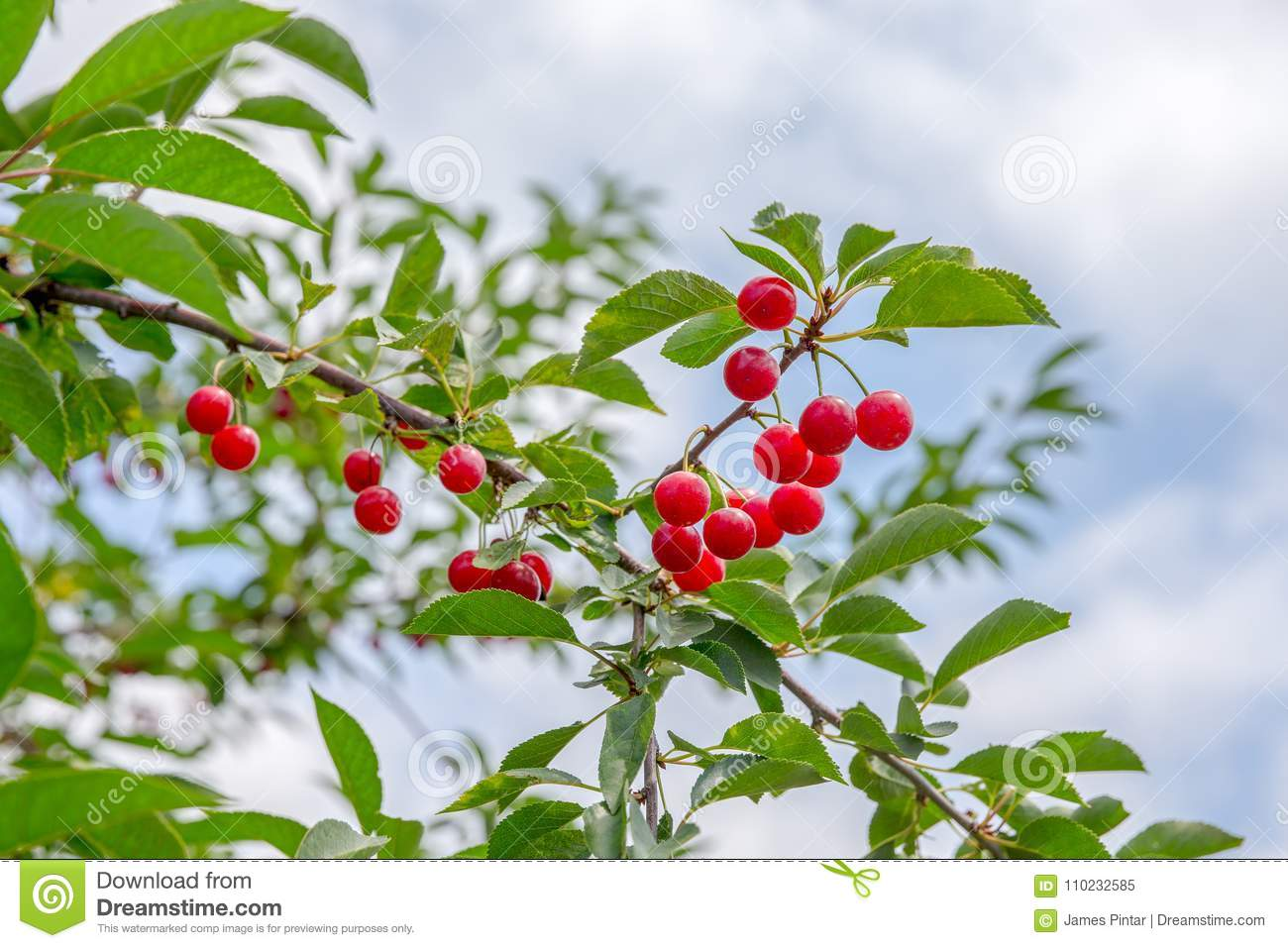 Ripe Cherries on a Tree stock image. Image of food, fruit - 110232585