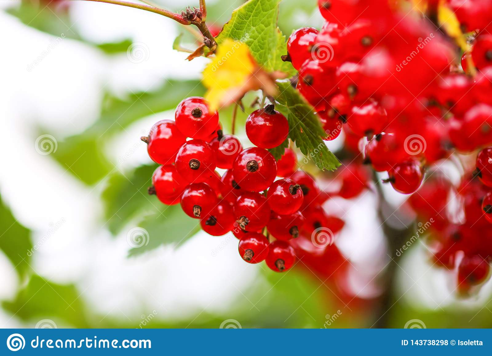 Ripe red currant in a garden. Ribes rubrum plant with ripe red berries