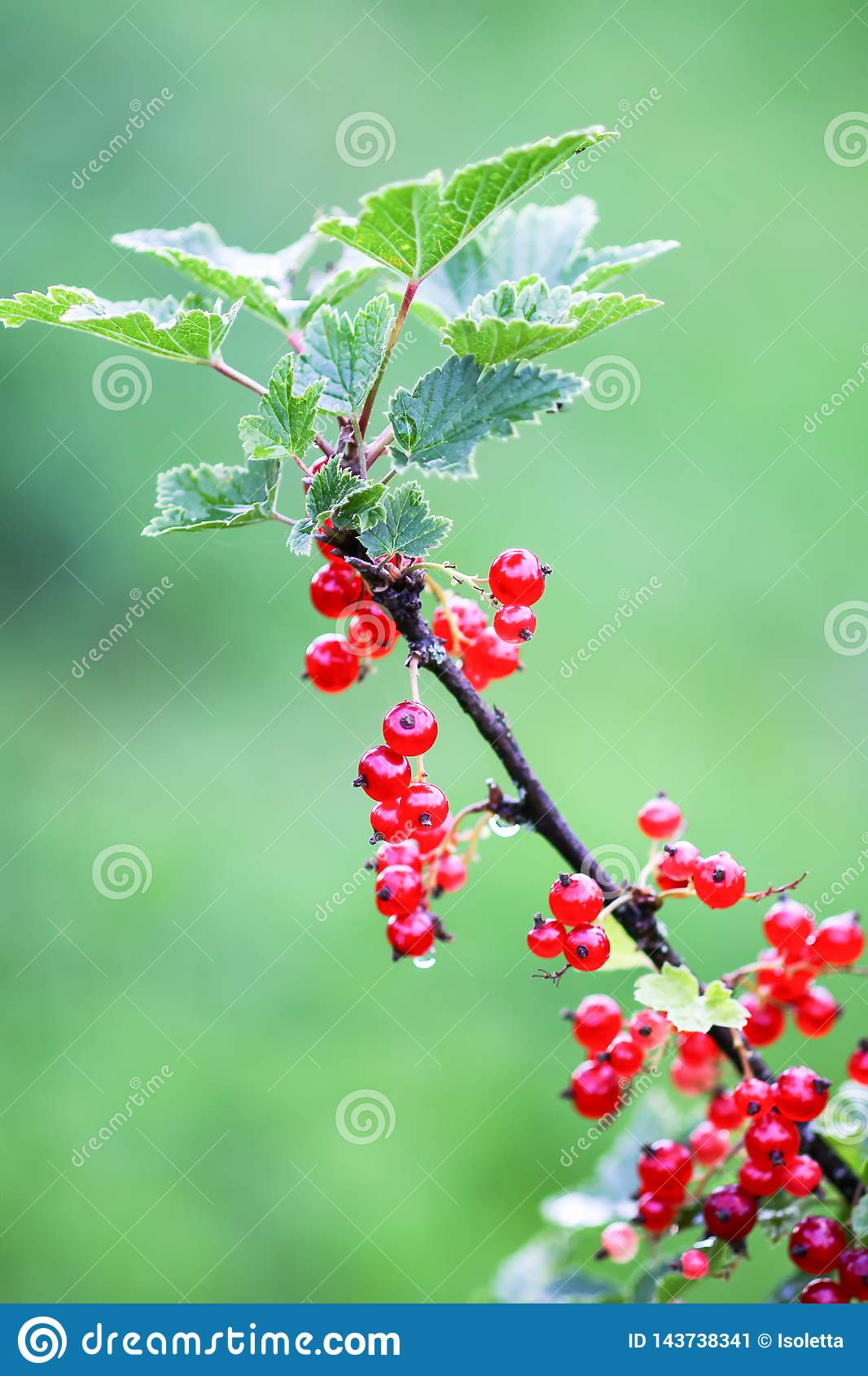 Ripe red currant in a summer garden. Ribes rubrum plant with ripe red berries.
