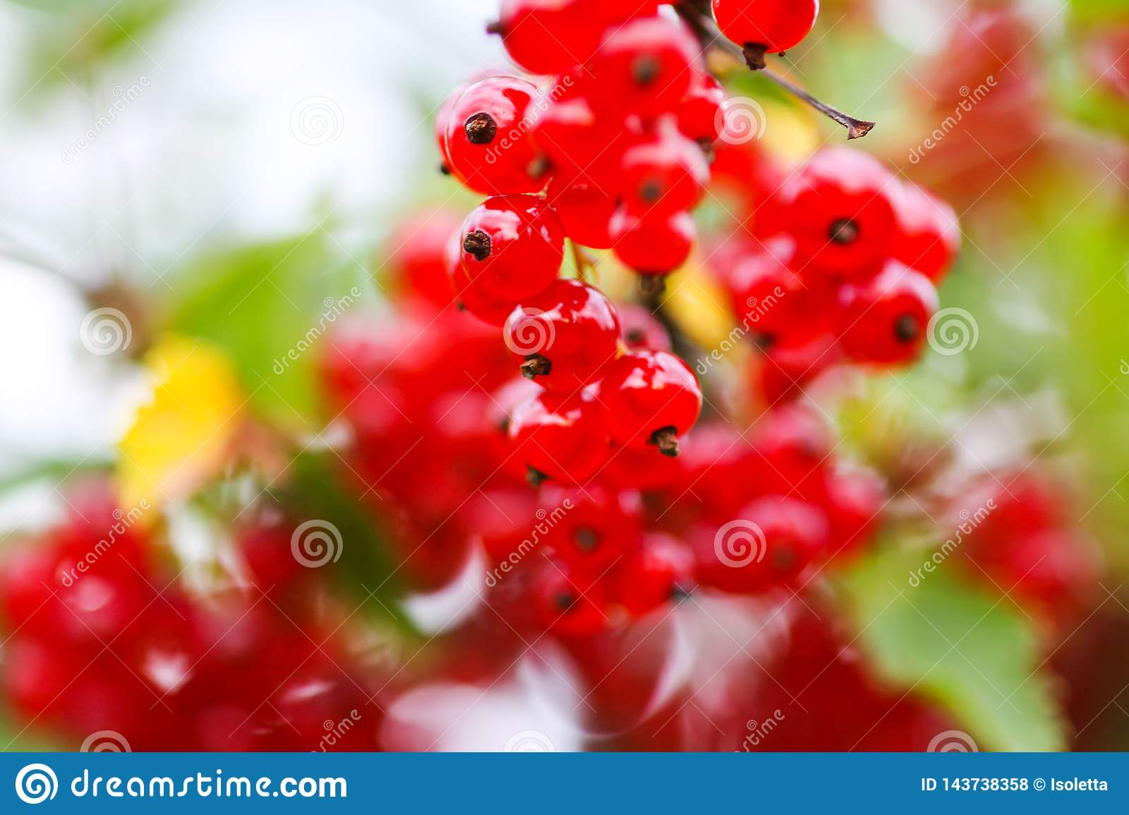Ripe red currant in a summer garden. Ribes rubrum plant with ripe berries