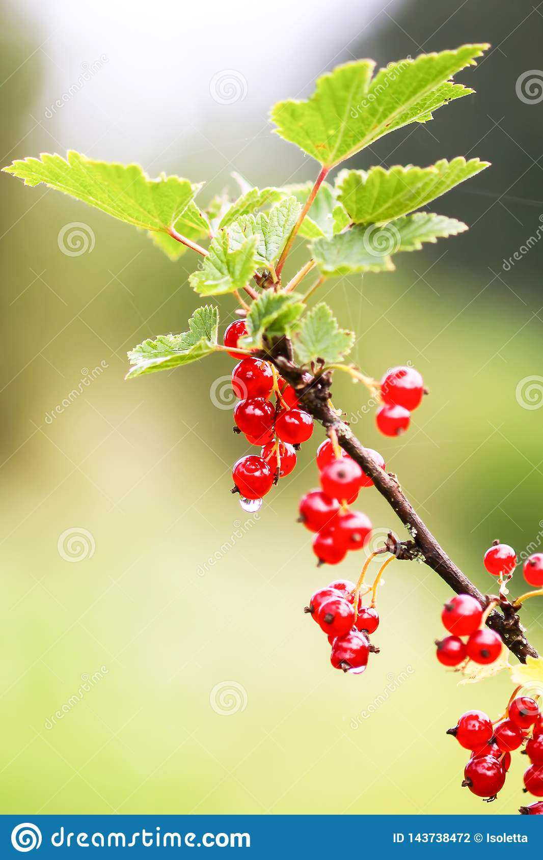 Red currant in a summer garden. Ribes rubrum plant with ripe red berries