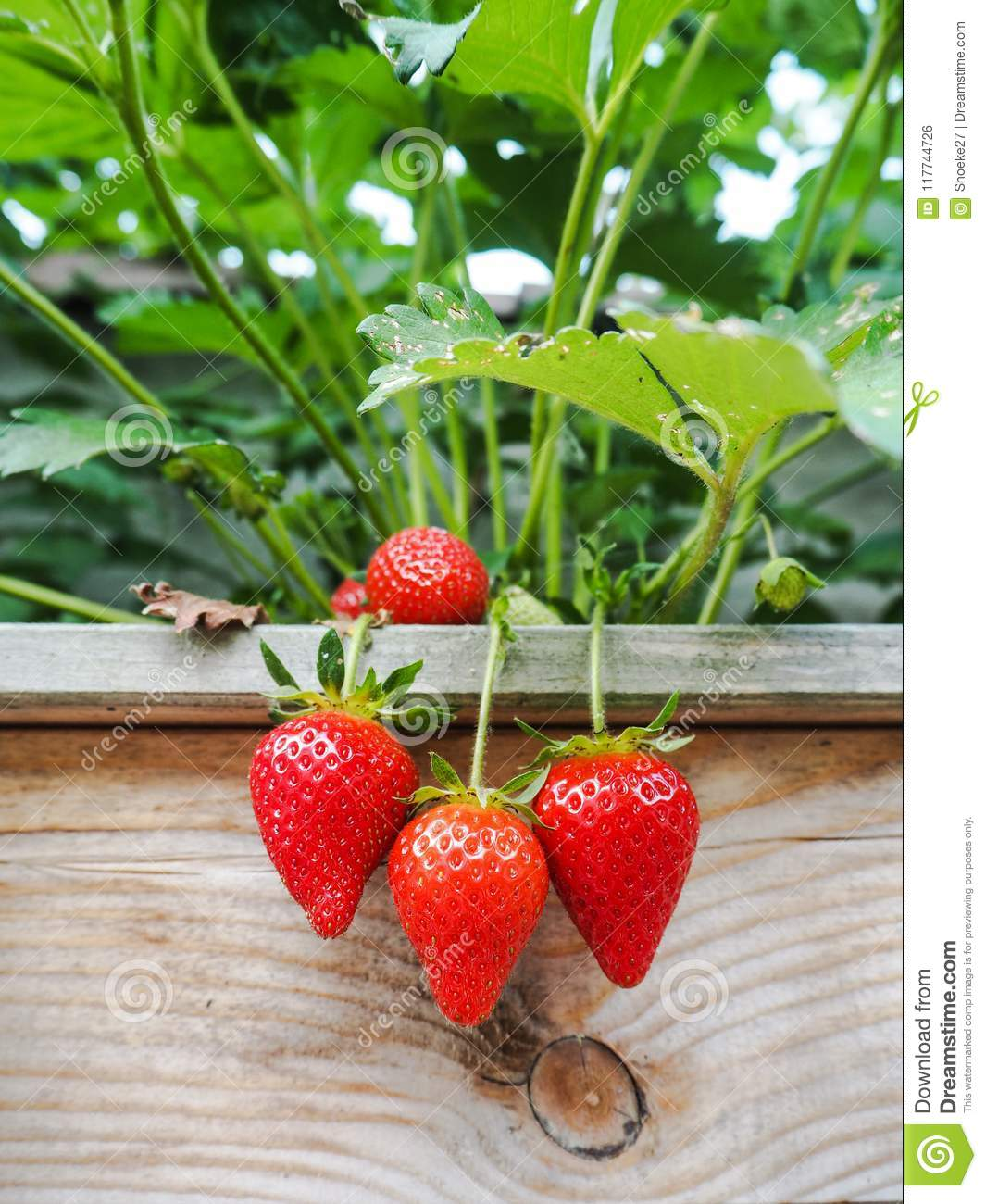 Ripe red strawberries hanging over the edge of a wooden frame