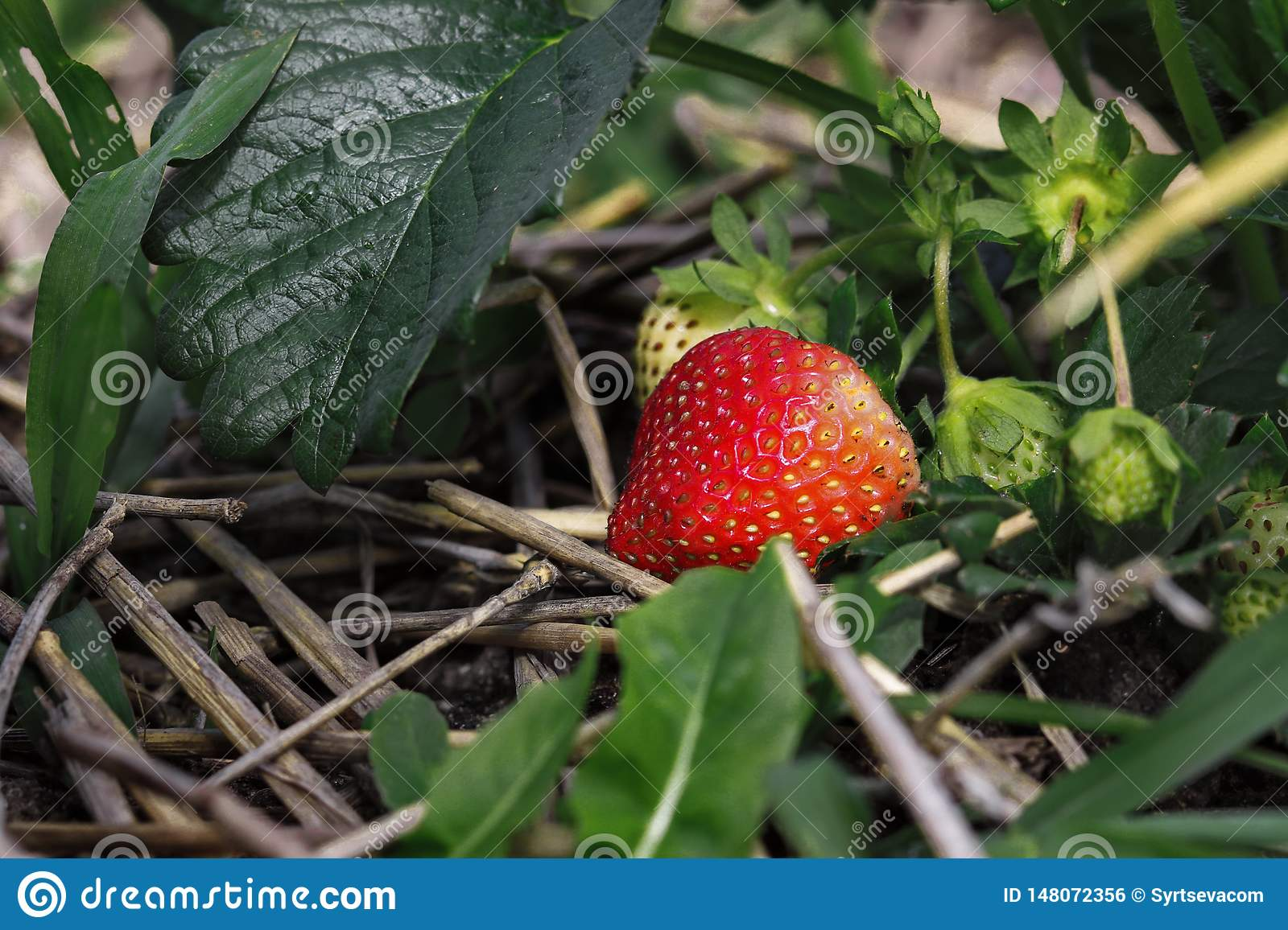 Ripe red strawberry berry grows among green leaves and hay