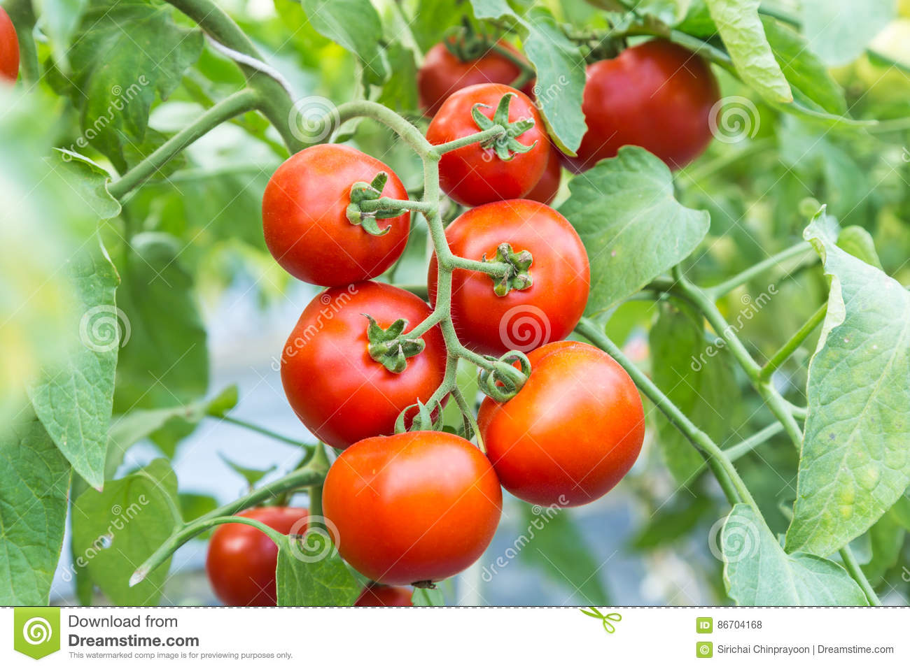 Ripe red tomato growing on branch in field