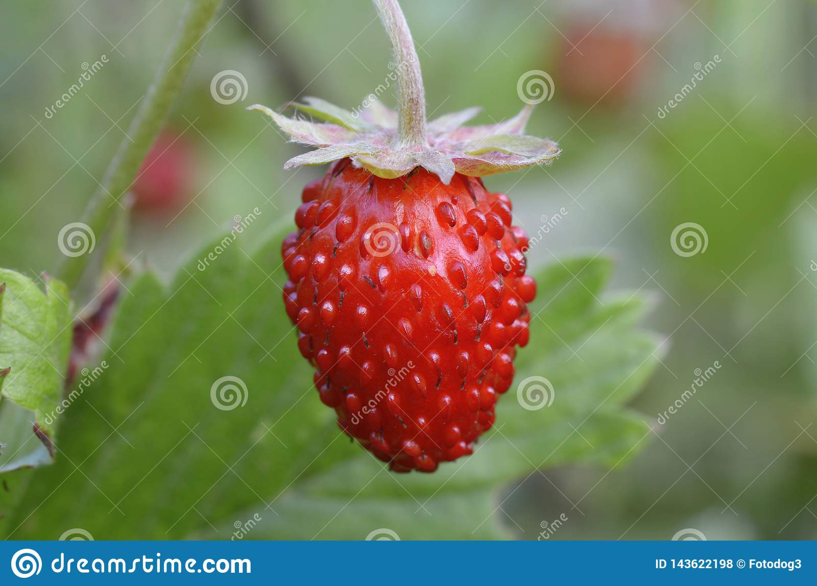 A ripe strawberry in front of blurred background