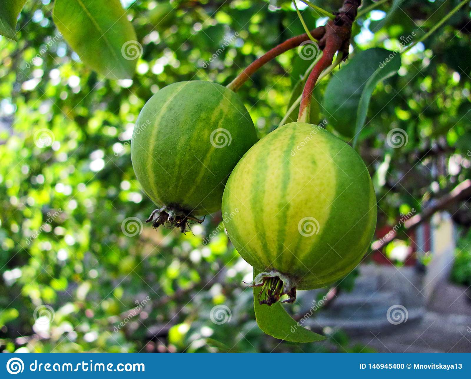 Ripe striped pears on a branch.