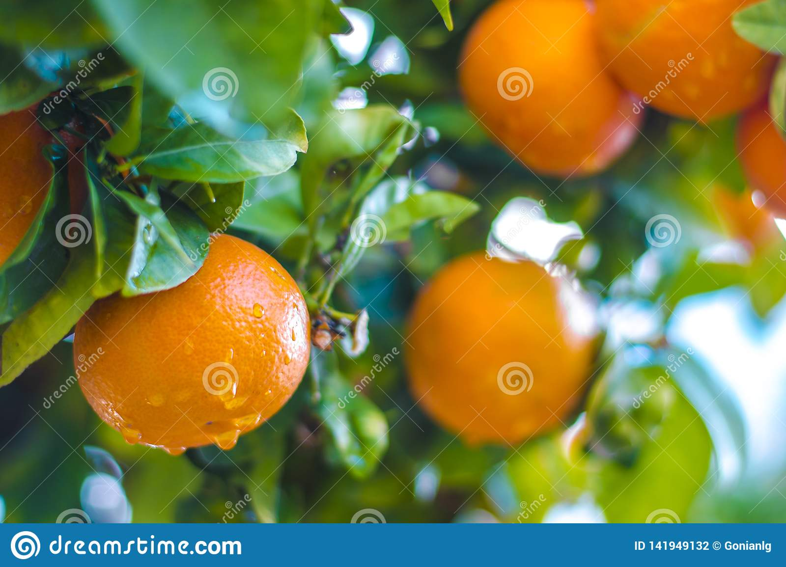 Ripe tangerines on a tree branch. Blue sky on the background. Citrus background