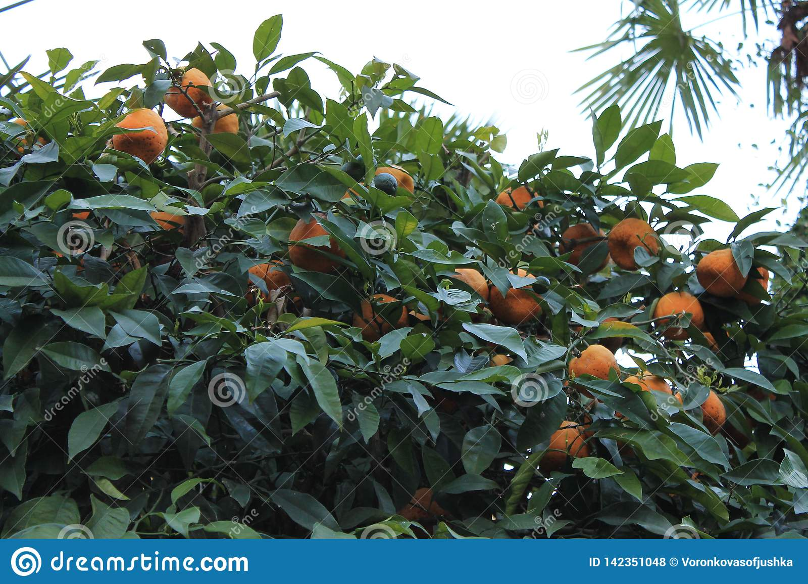Ripe tangerines on the tree