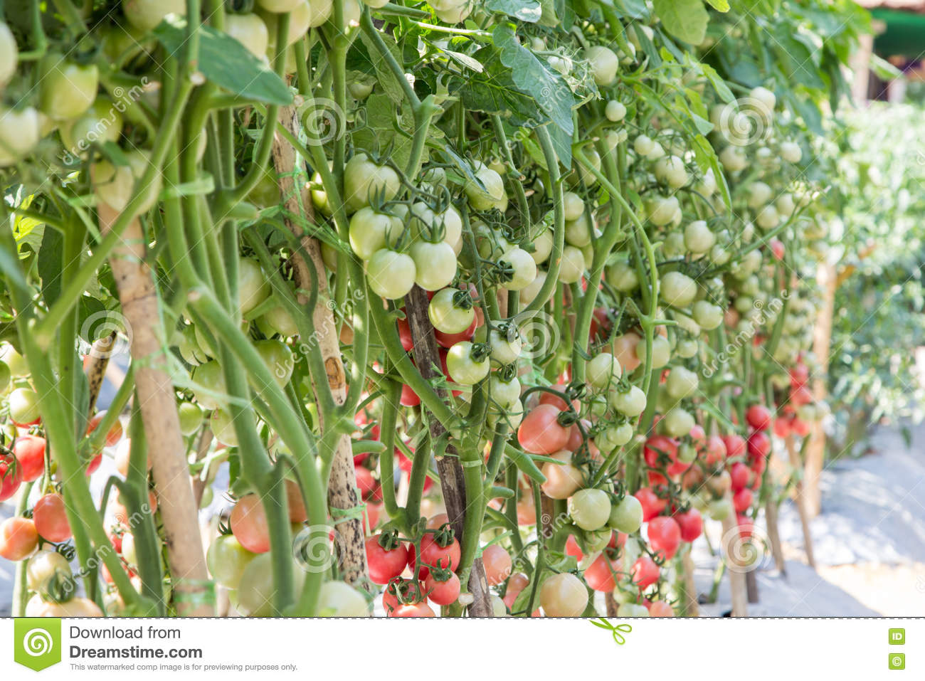 Ripe tomato ready to harvest in field