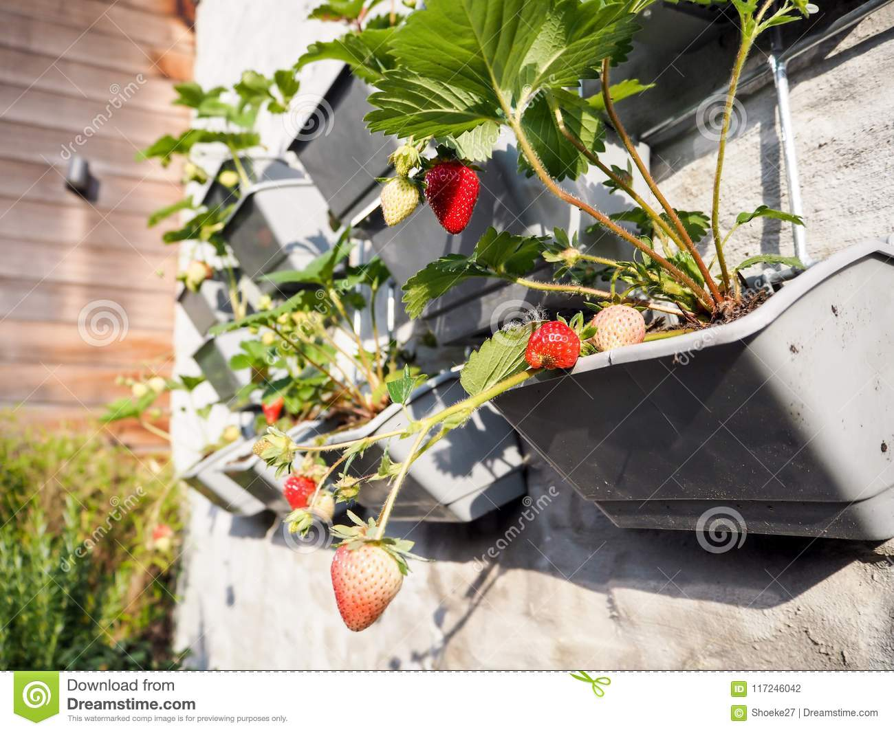 Ripe and unripe strawberries hanging from rows of strawberry plants