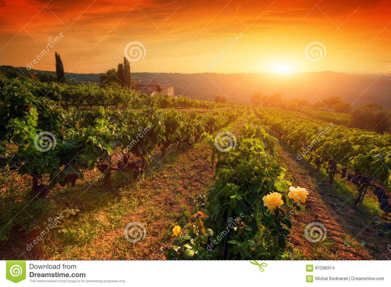 Download Ripe Wine Grapes On Vines In Tuscany, Italy. Wine Farm, Sunset Warm Light Stock Photo - Image of light, industry: 61296914