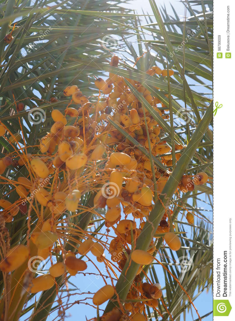 Ripe Yellow Dates On The Palm Tree With Sunbeams Coming Throu Stock