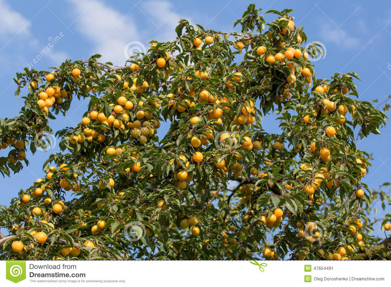ripe yellow plums on the tree fruit tree stock photo. Black Bedroom Furniture Sets. Home Design Ideas