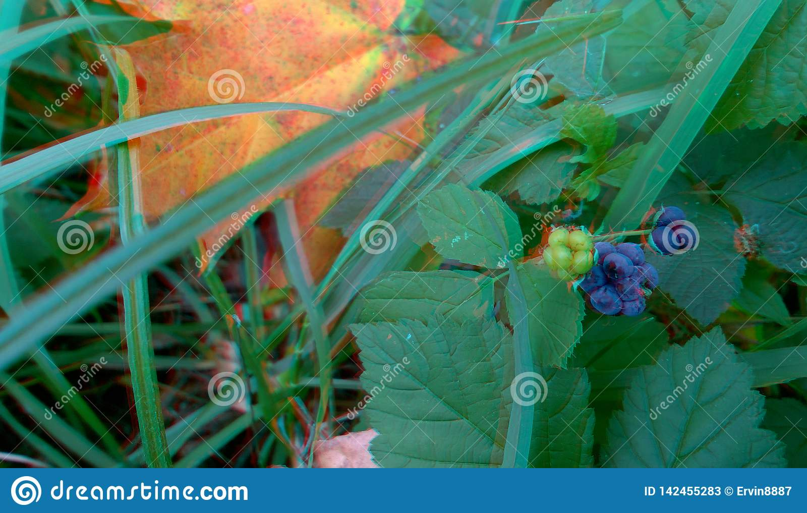 Ripened Wild Blackberry Waiting to be Picked. 3D anaglyph