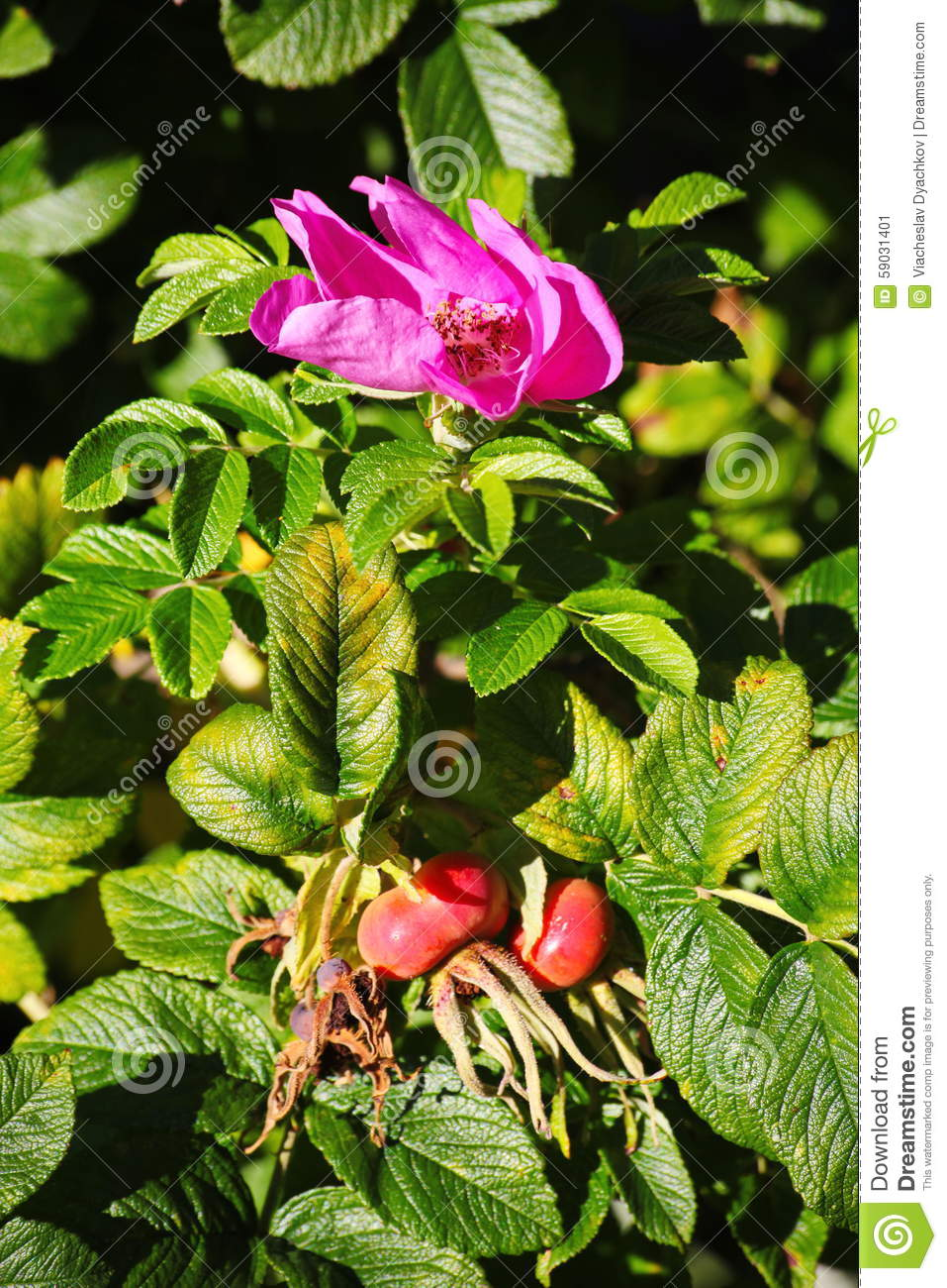Shrubs with purple flowers at end of branch - Ripening Fruits Bright Purple Flowers And Green Leaves On The Branches Of The Wild Rose
