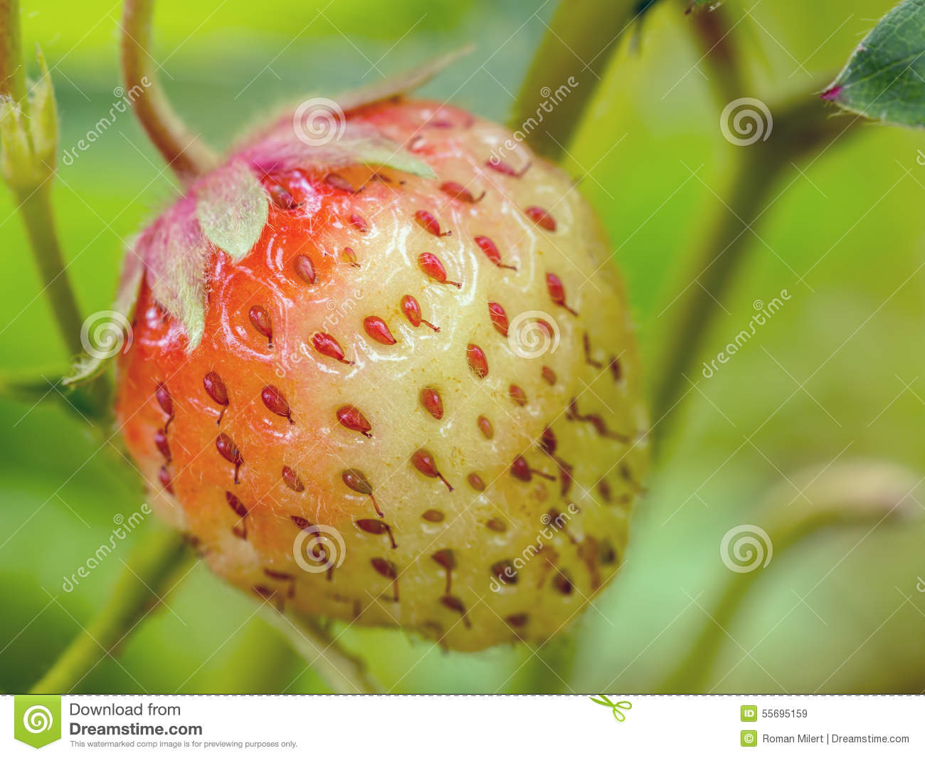 fruit ripening This research topic addresses the molecular processes at play during fruit ripening we focus on the use of current fundamental knowledge on that process.