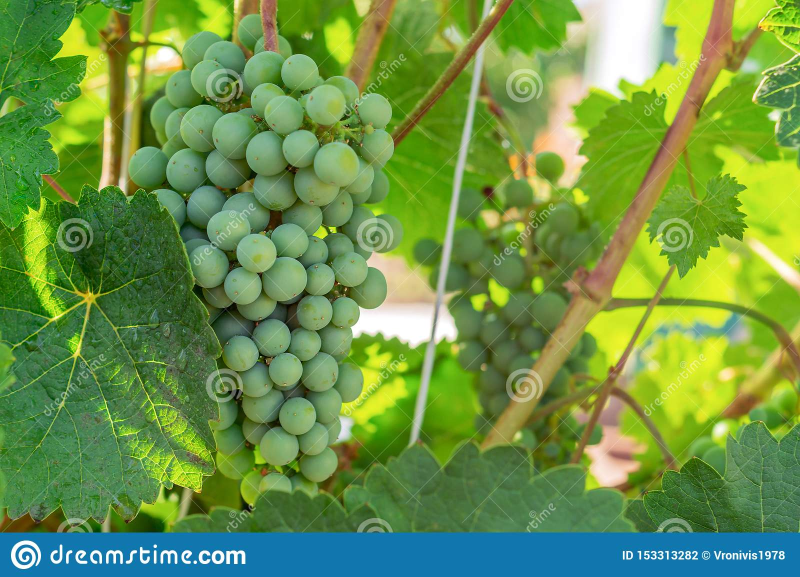 Ripening white grapes with drops of water after rain in garden. Green grapes growing on the grape vines. Agricultural background