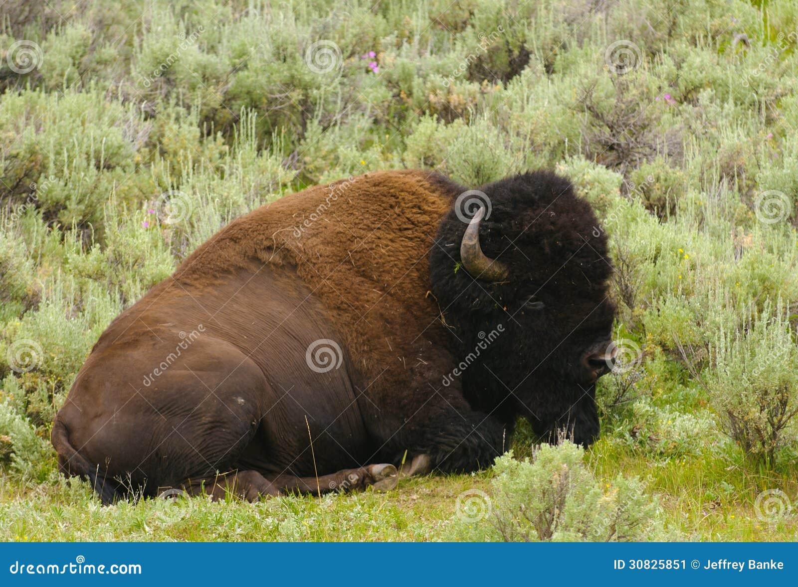 Riposo del bisonte