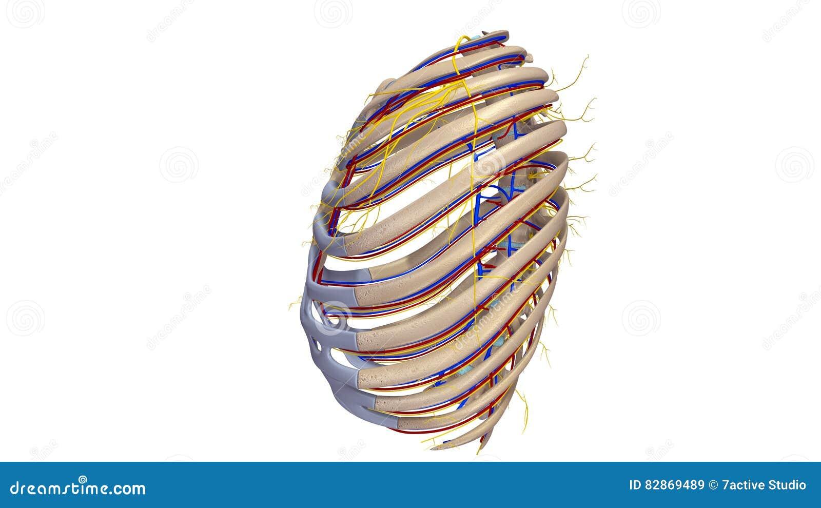 Rippen Mit Blutgefäß- Und Nervenseitenansicht Stock Abbildung ...