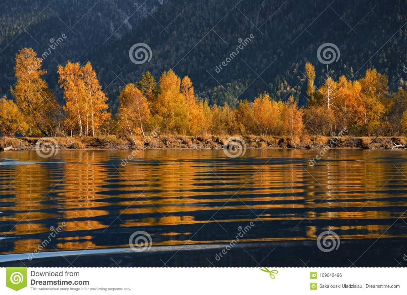Ripple.Autumn Golden Reflection Of Beerch Trees In Blue Water At Sunset. Colorful Foliage Over Lake With Beautiful Woods In Yellow