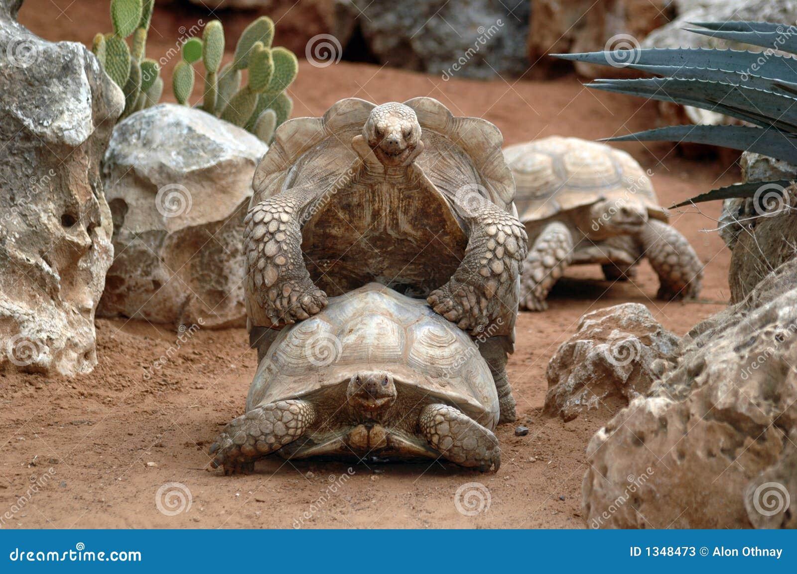 riproduzione gigante delle tartarughe immagine stock