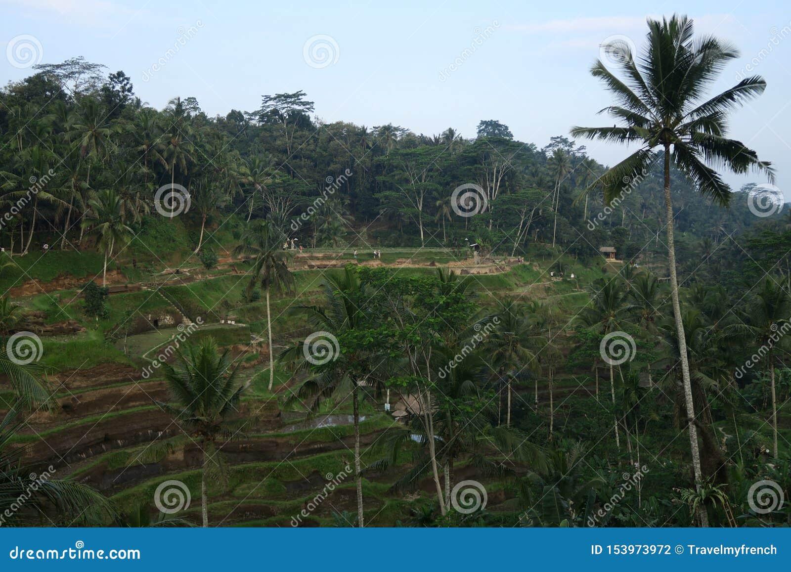 Ris terrasserar ubudtegalalang eller tegallalang med kokospalmen