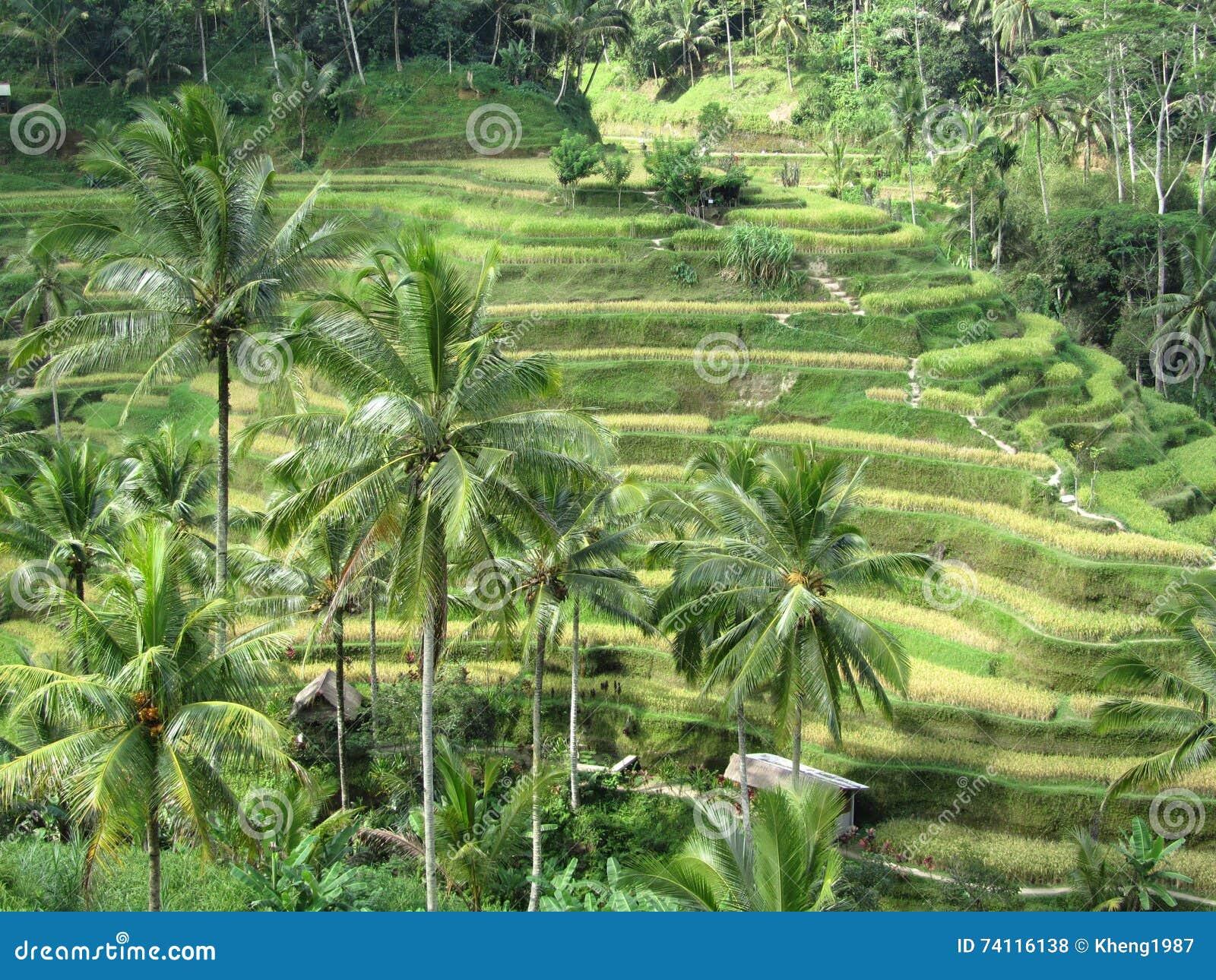 Risaie A Terrazze In Bali Fotografia Stock Immagine Di
