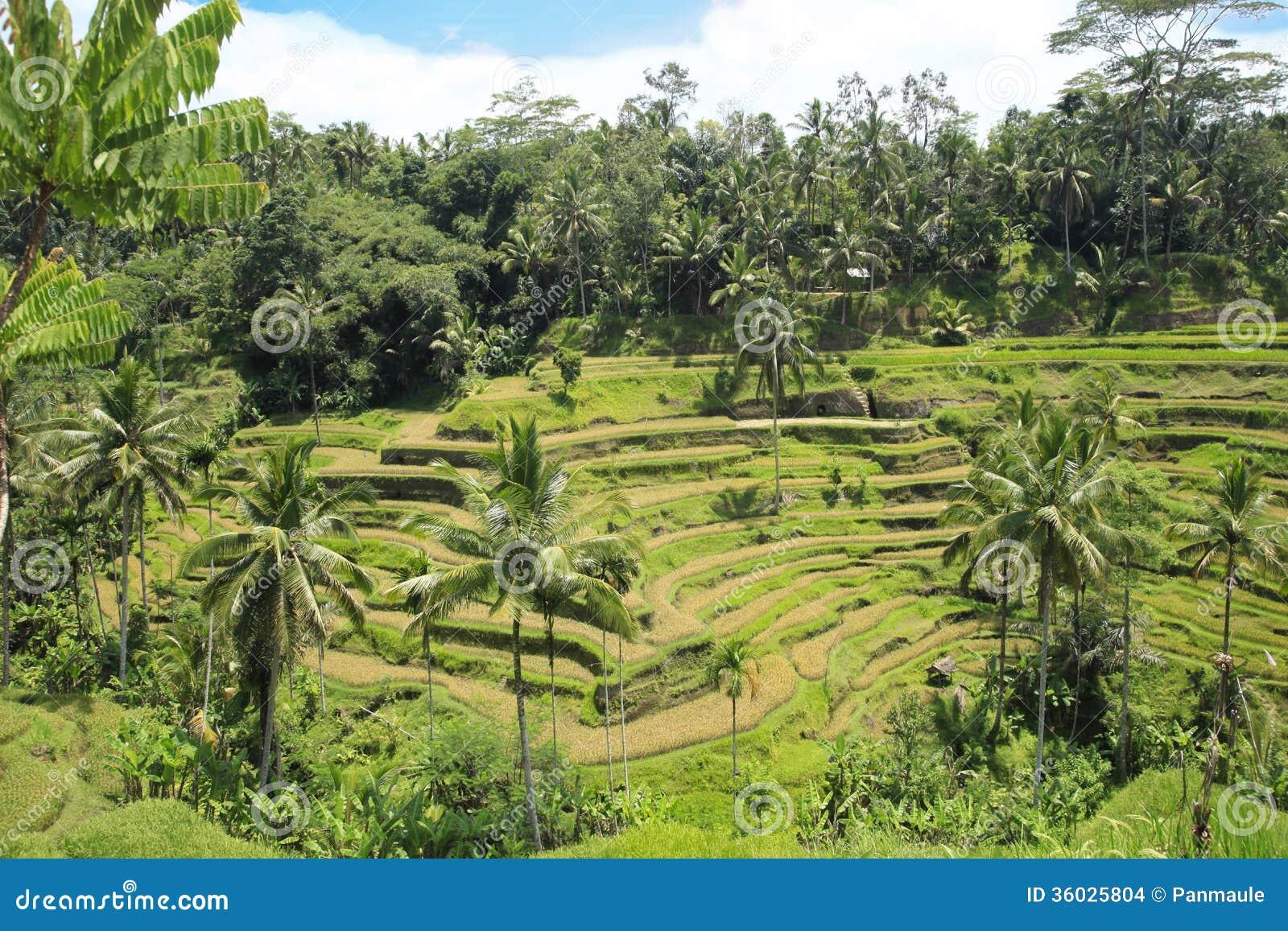 Risaie A Terrazze Bali Indonesia Fotografia Stock Immagine