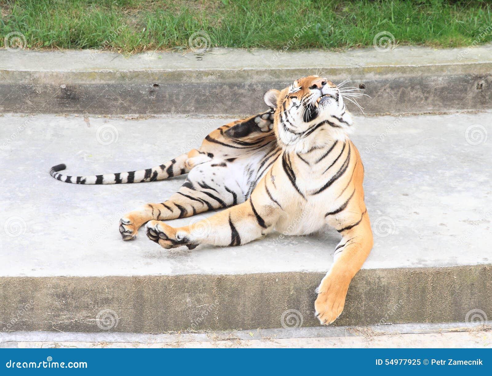 Riscando o tigre