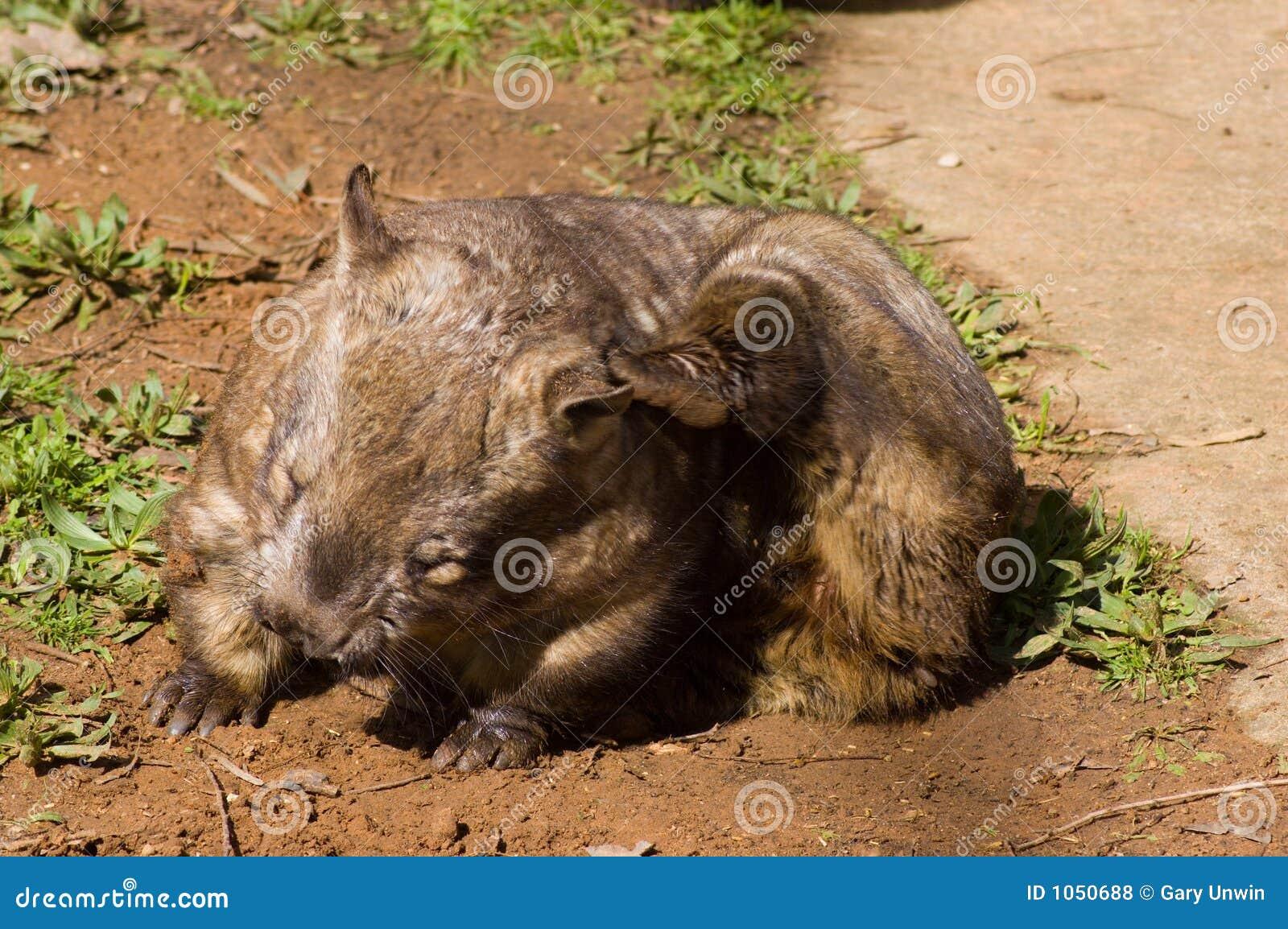Riscando Wombat Peludo-Cheirado