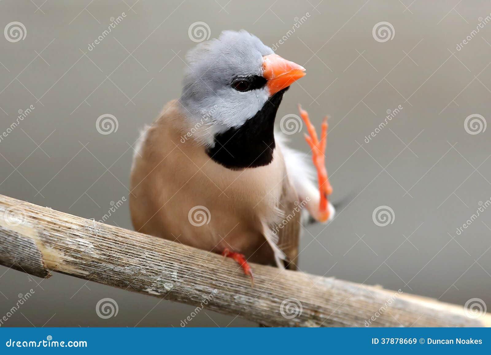 Risco do pássaro do Grassfinch do pedaço