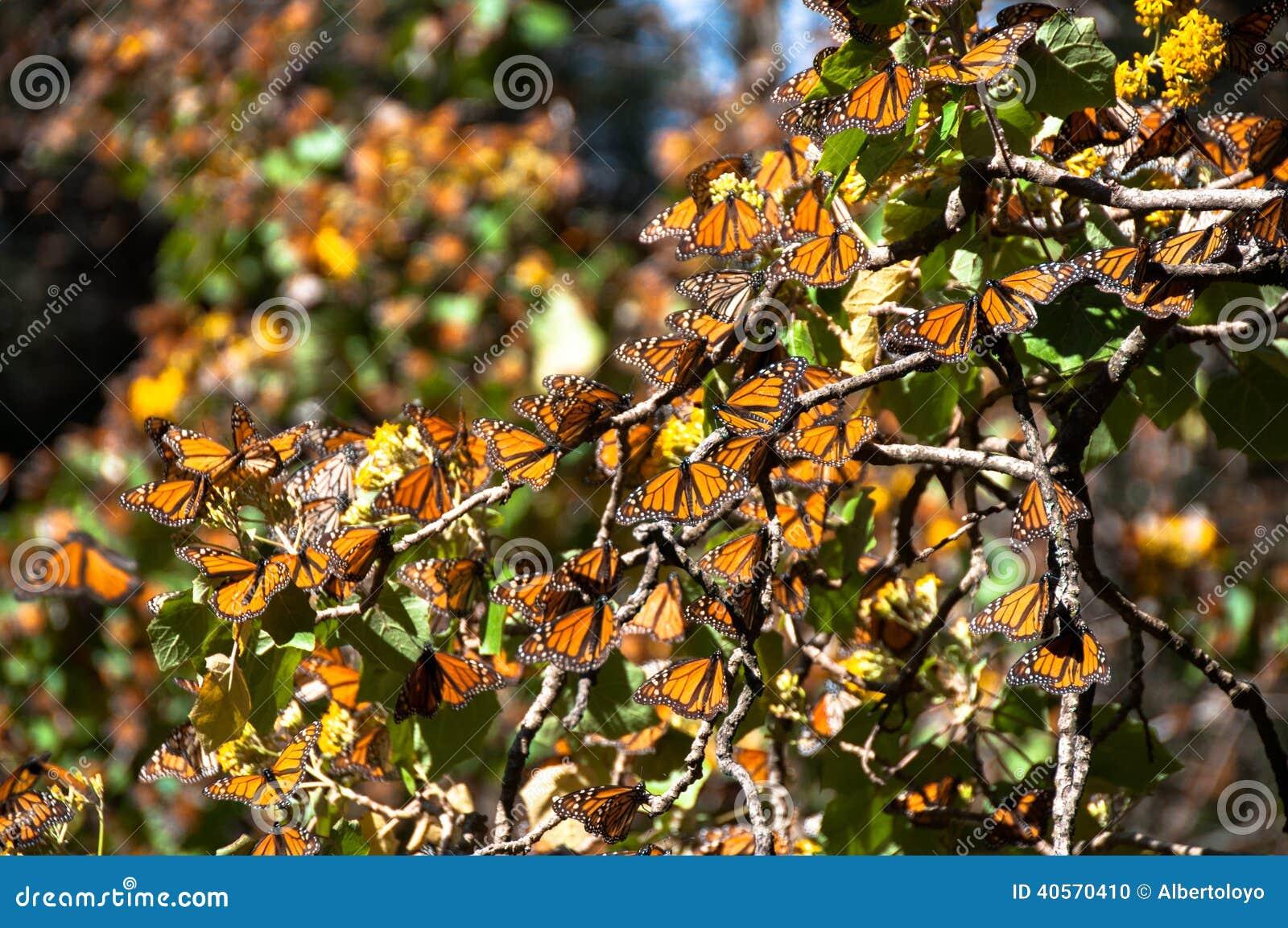Riserva di biosfera della farfalla di monarca, Messico