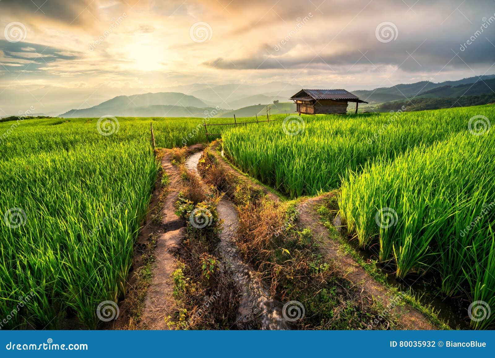 Risfält i Chiang Mai