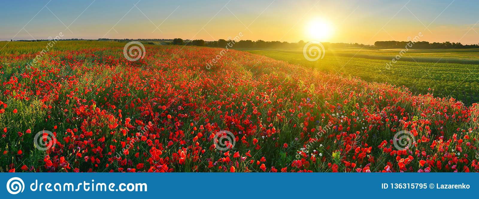Rising sun above the field of red poppies in summer.