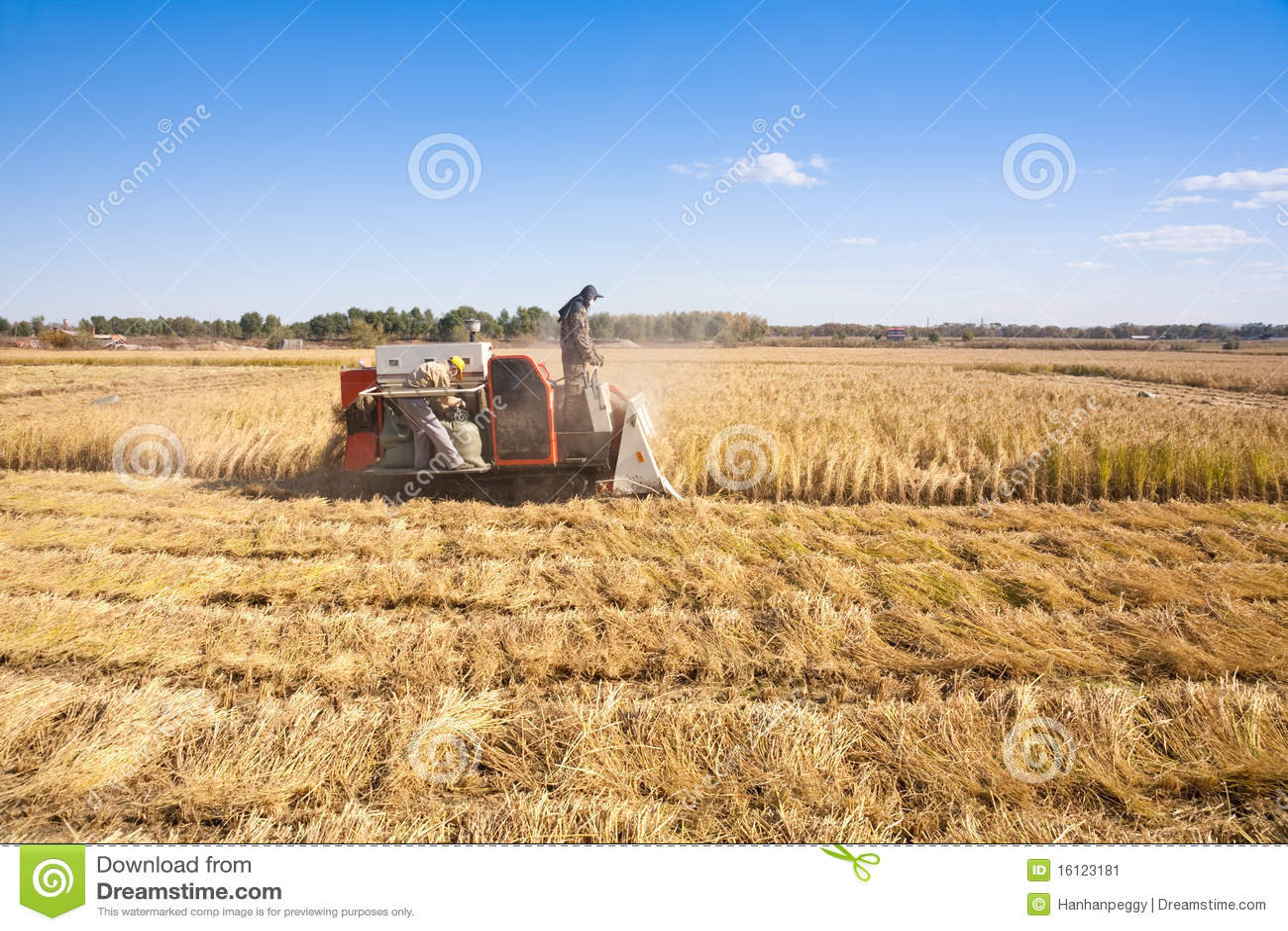 Riso di taglio della manodopera agricola
