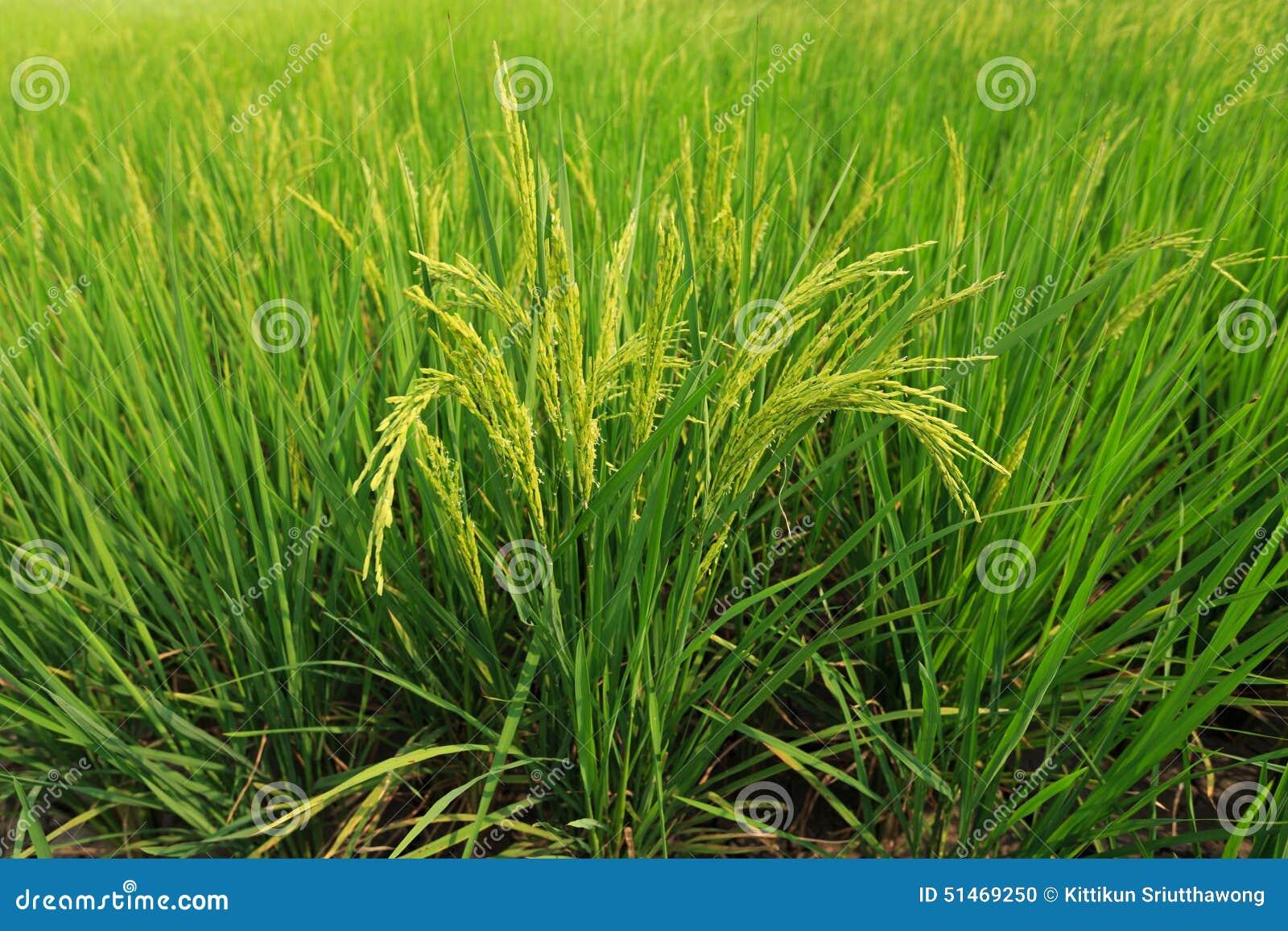 Riso verde Tailandia