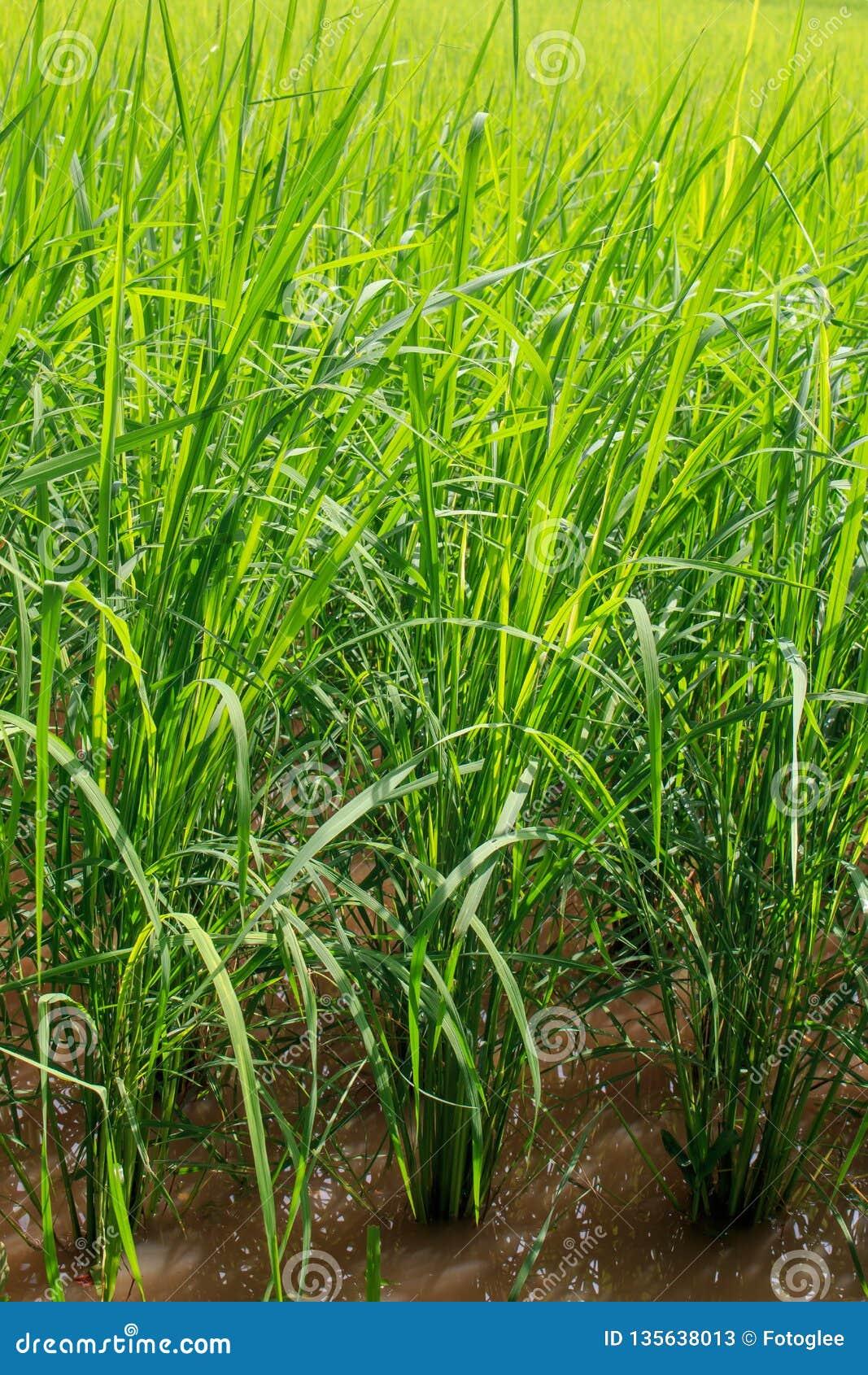 Risone verde nel campo, albero dei grani del riso in Chiang Mai Thailand