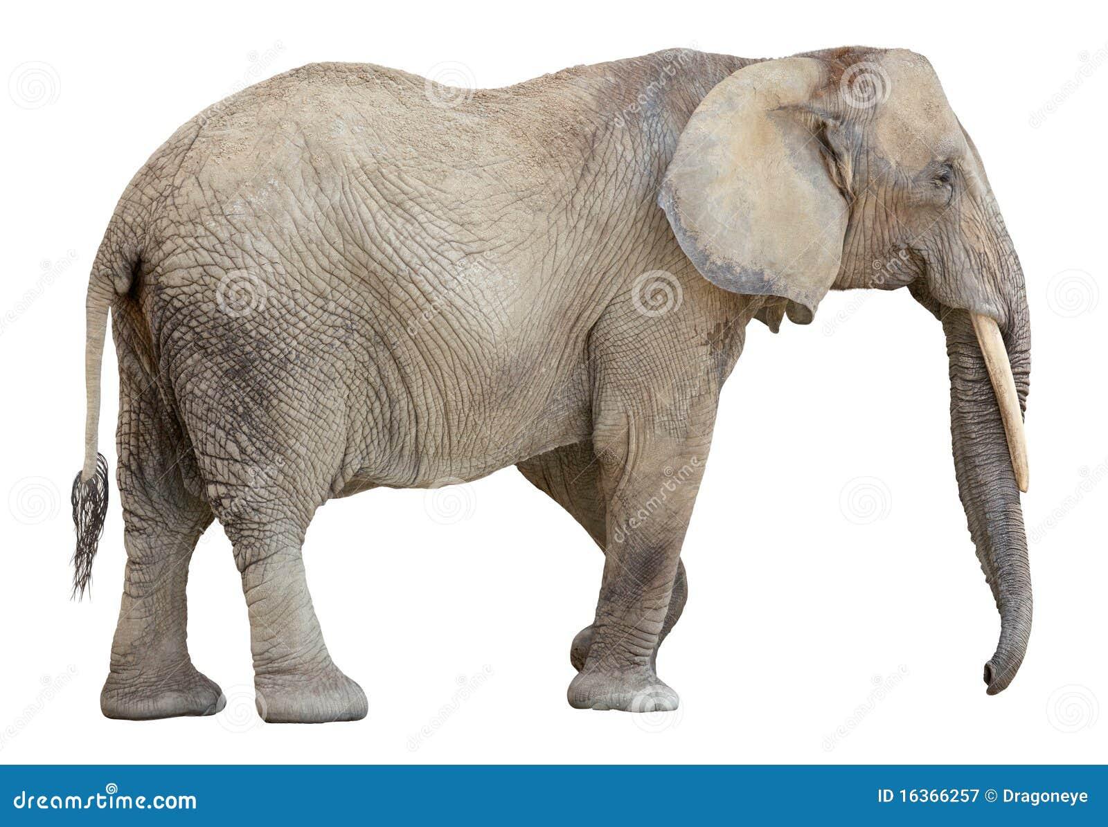 Ritaglio dell 39 elefante africano immagine stock immagine - Elefante foglio di colore dell elefante ...