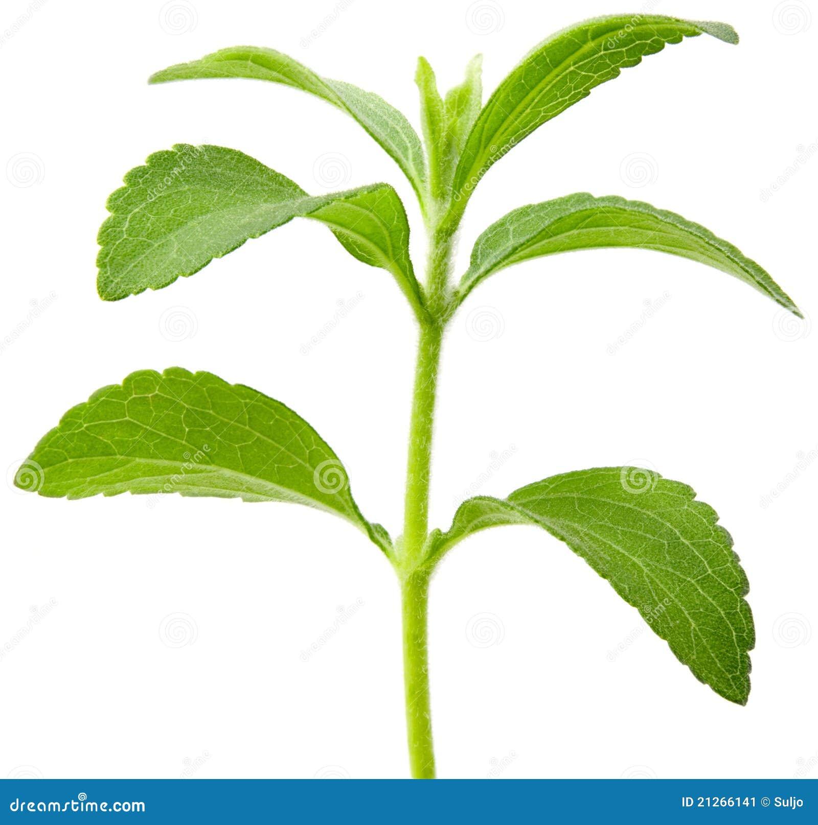 Ritaglio della pianta di stevia immagine stock immagine for Stevia pianta