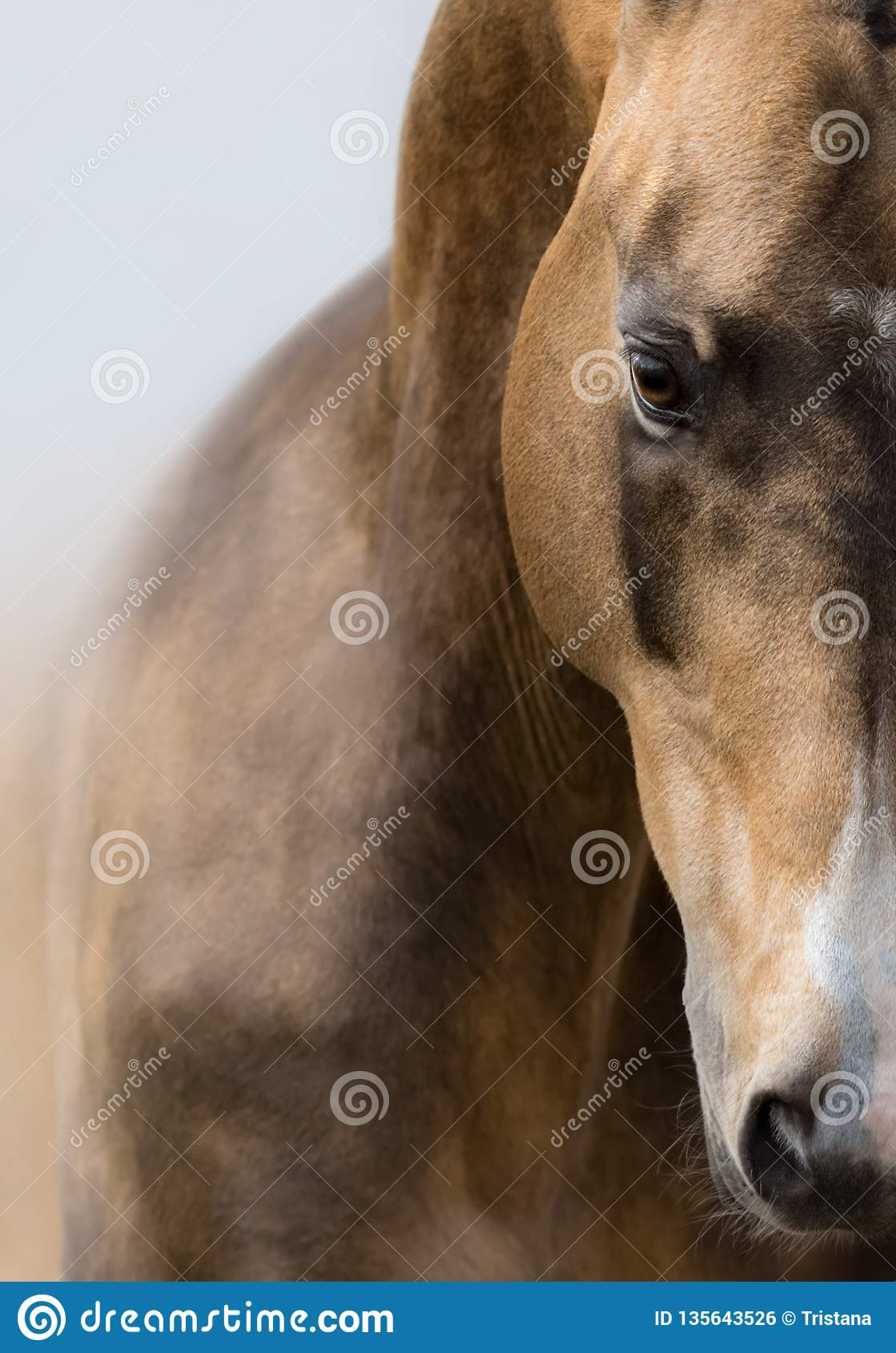 Ritratto alto vicino del cavallo dorato dell acaro degli agrumi di Akhalteke