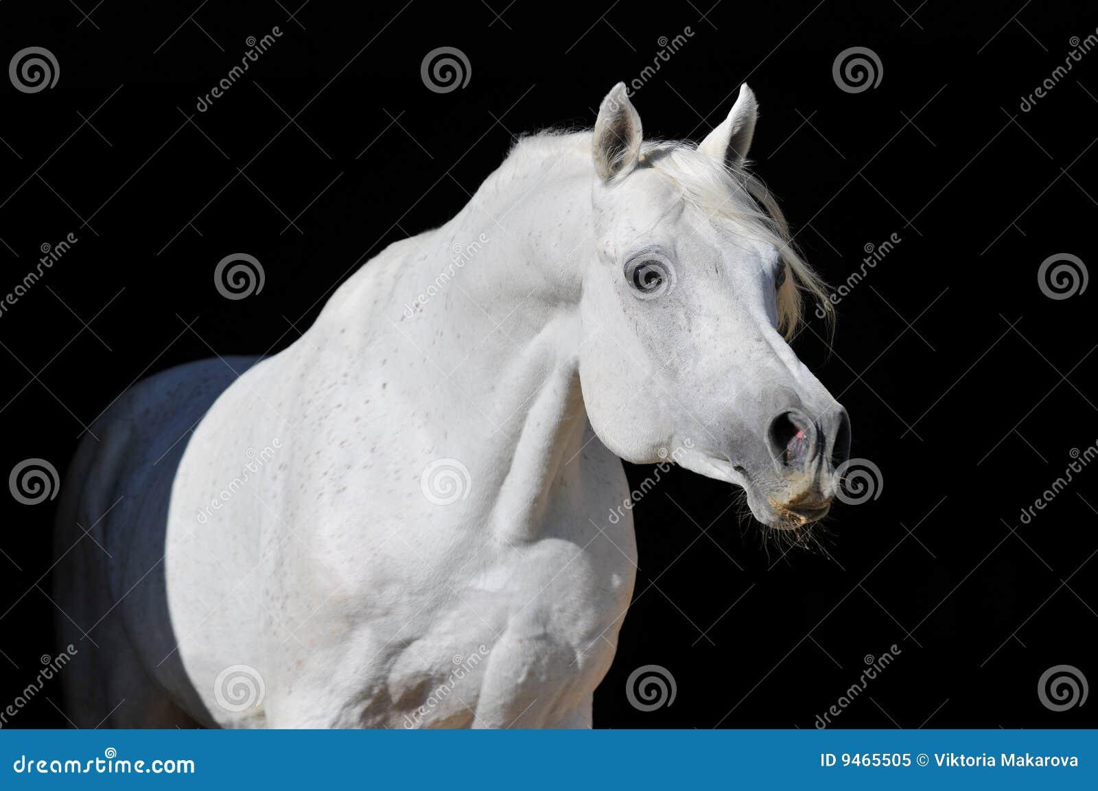 Ritratto arabo bianco dello stallion del cavallo