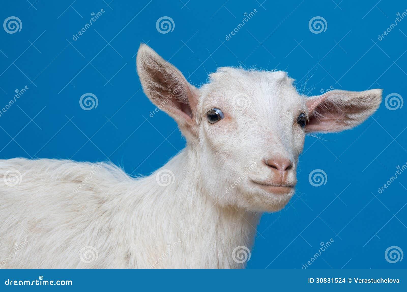 Ritratto bianco della capra