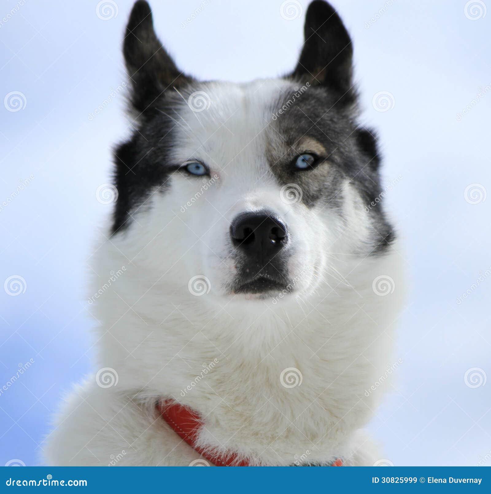 Ritratto del cane del husky