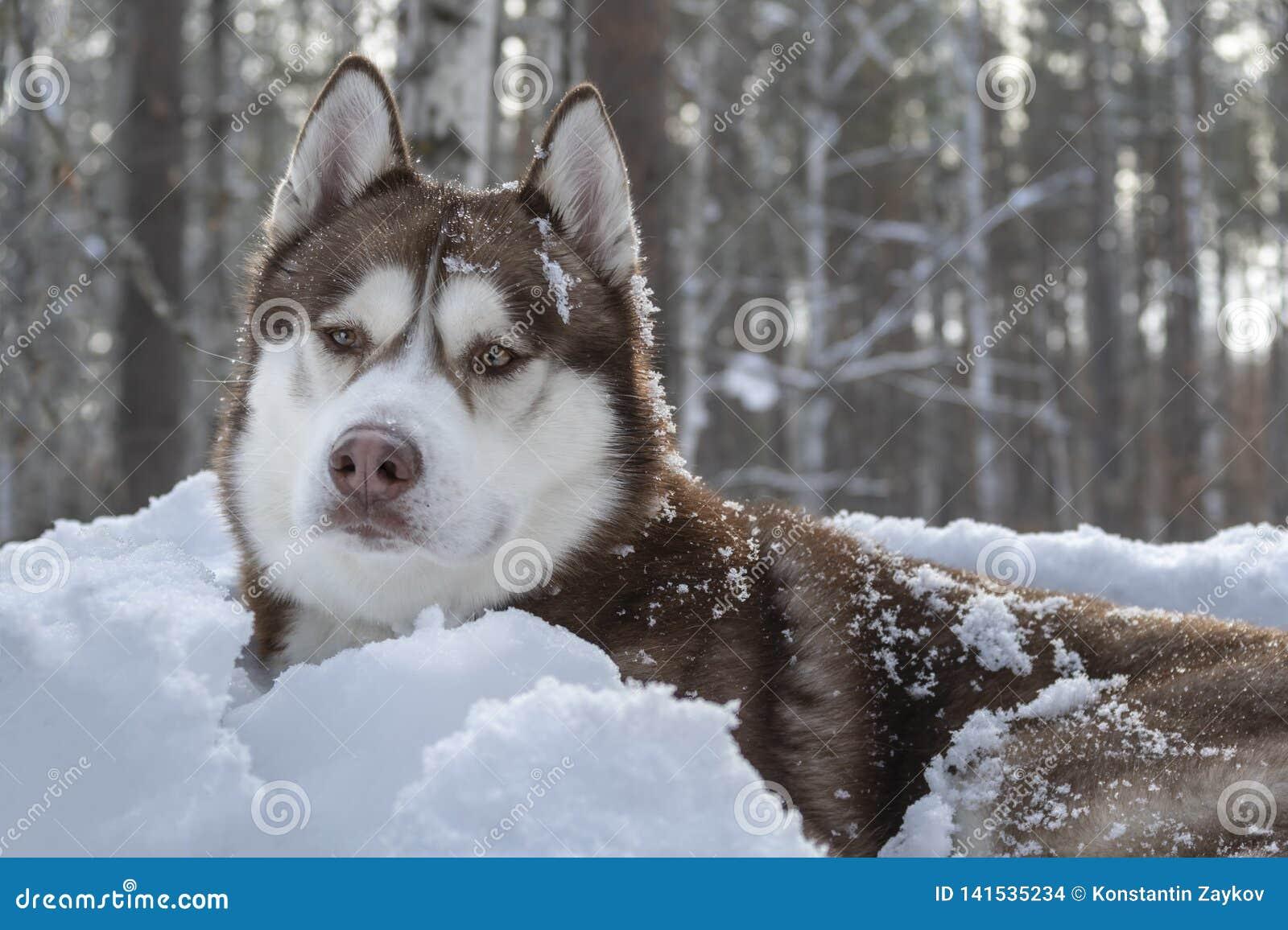 Ritratto del cane marrone del husky siberiano sul fondo bianco della neve nella foresta scura di inverno