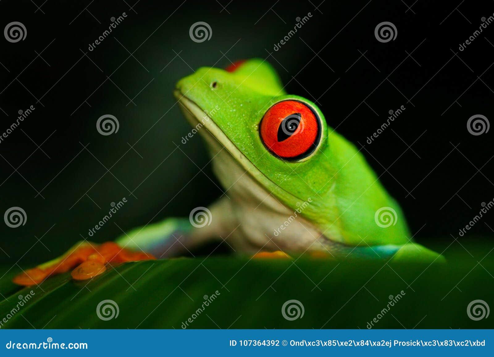 Ritratto del dettaglio della rana con l occhi rossi Rana di albero con gli occhi rossi, callidryas di Agalychnis, nell habitat de