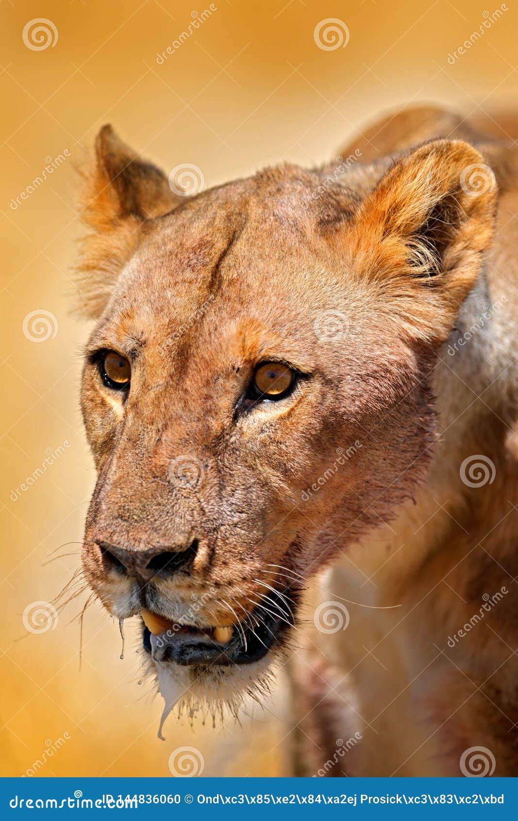Ritratto del dettaglio del fronte del leone Bleyenberghi di Leo della panthera in Etocha NP, la Namibia, Africa Comportamento ani