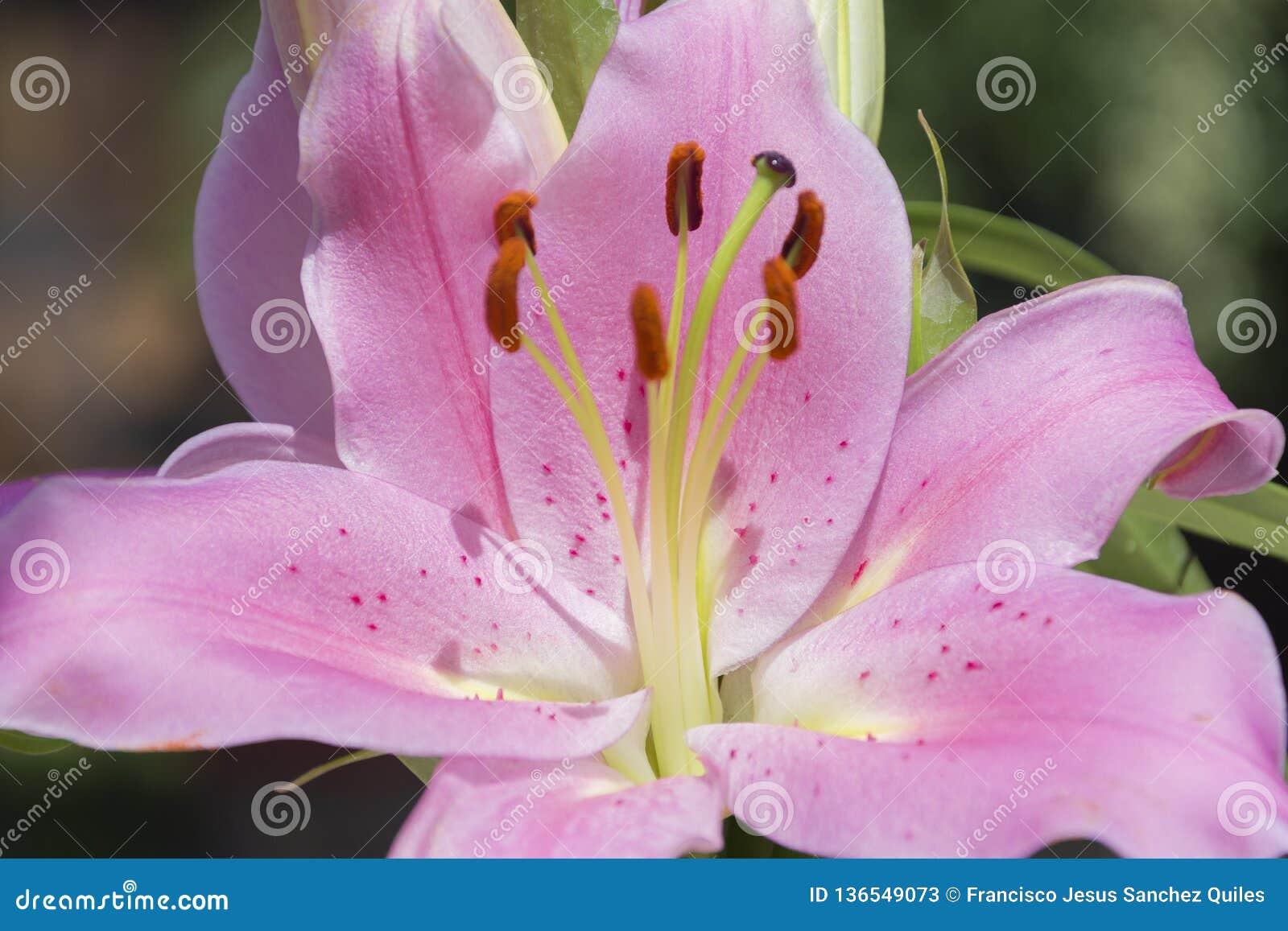 Ritratto del fiore di colchicum autumnale macro