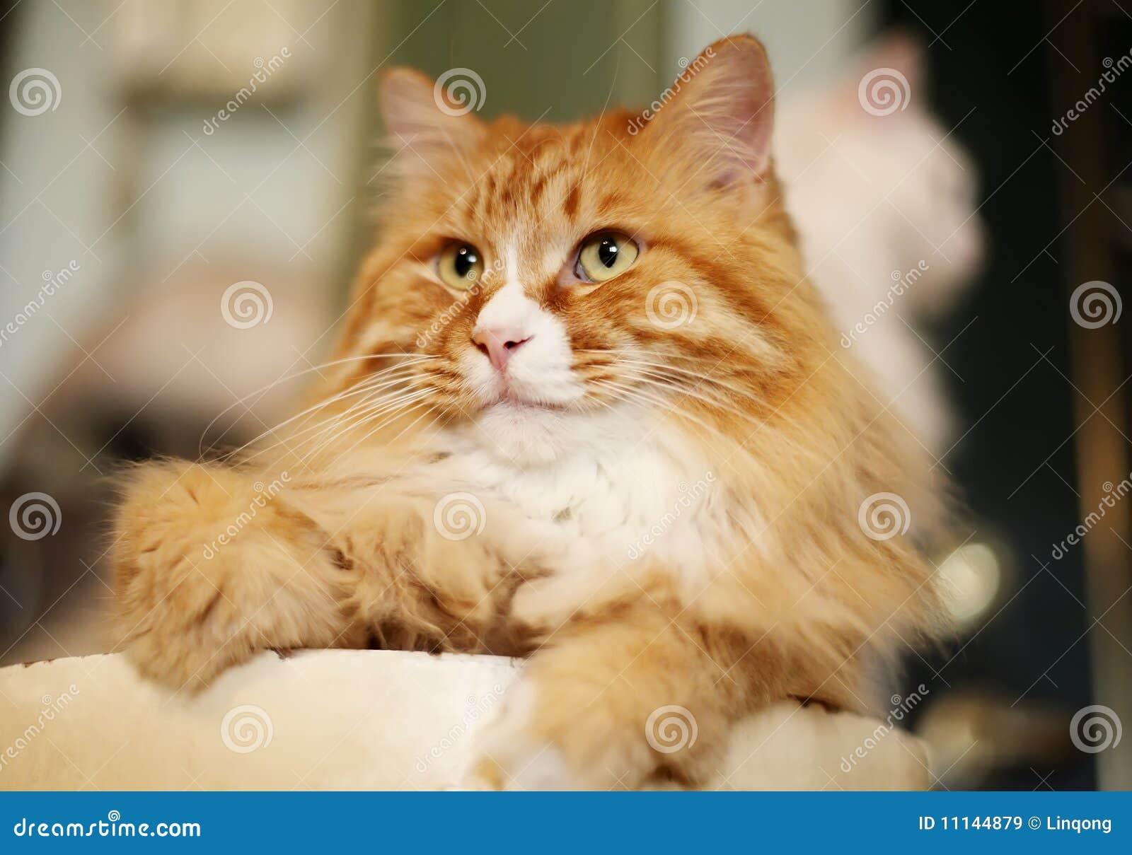 Ritratto del gatto dell animale domestico