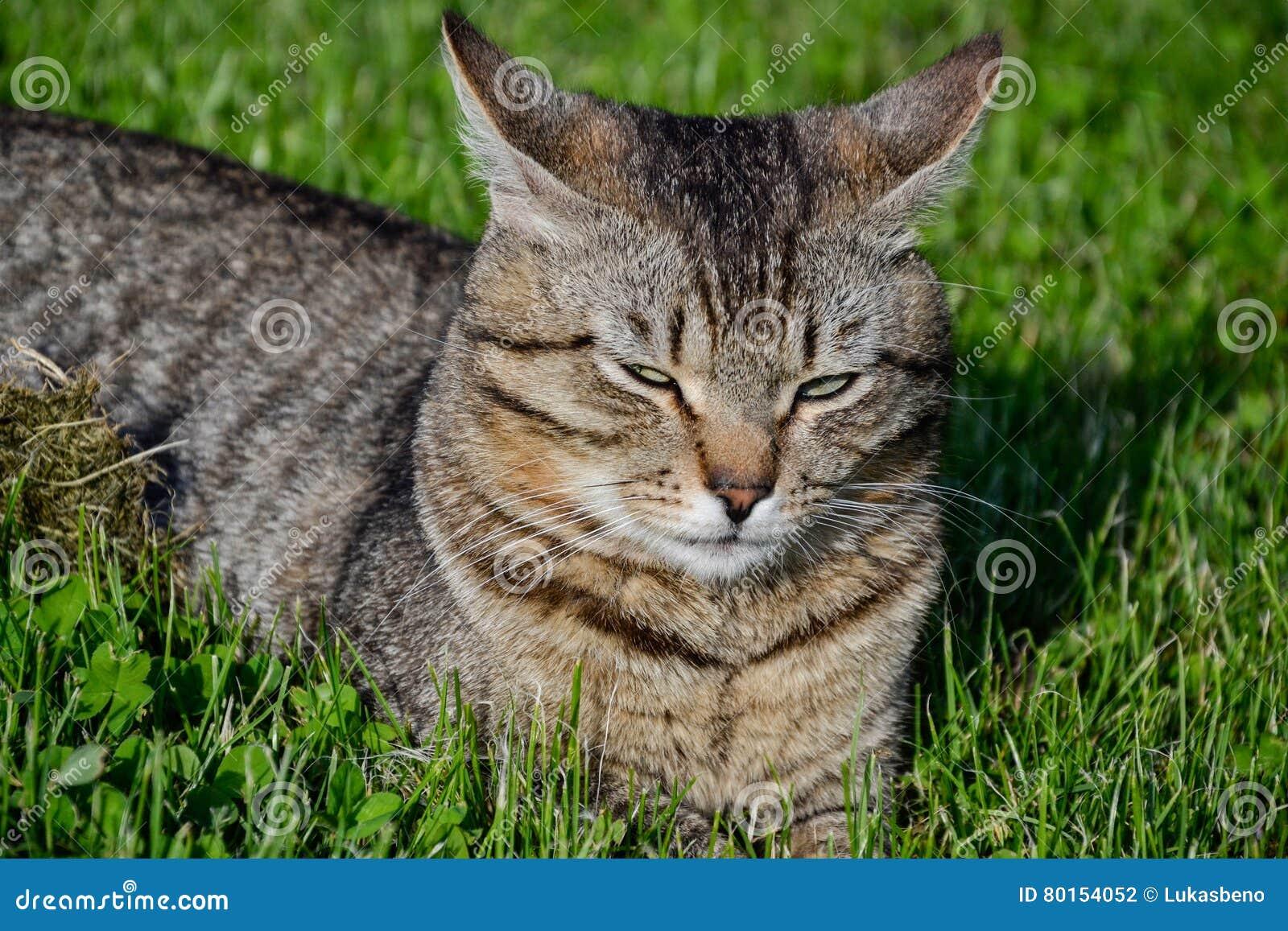 Ritratto del gatto di soriano dai capelli corti domestico che si trova nell erba Tomcat che si rilassa nel giardino